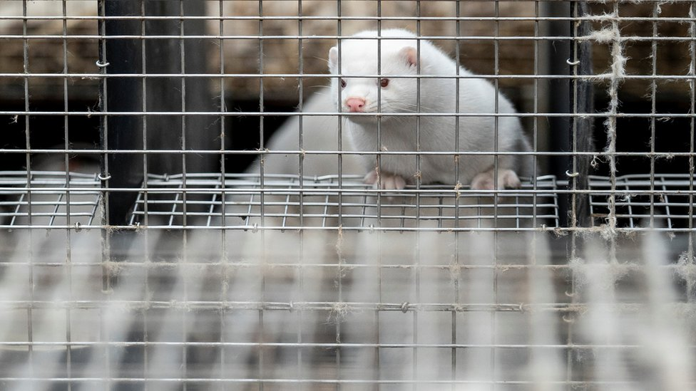 A caged mink is seen at the farm of Henrik Nordgaard Hansen and Ann Mona Kulsoe Larsen near Naestved Denmark