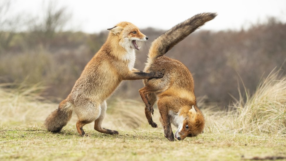 dve lisice
