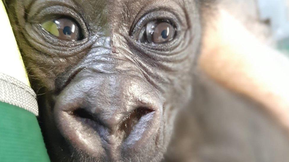 Baby male western lowland gorilla at Bristol Zoo
