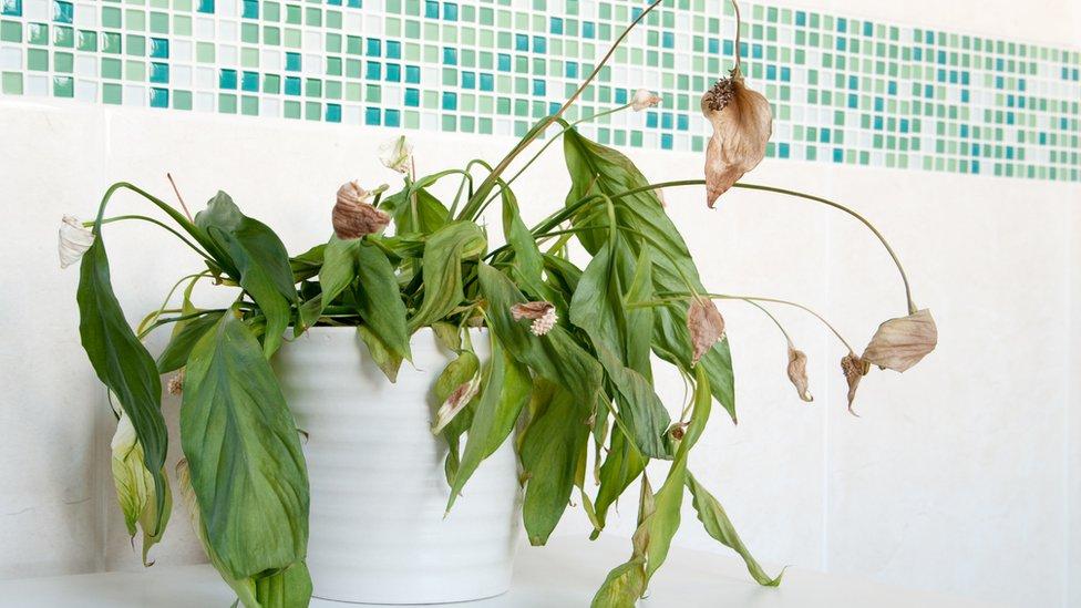 planta seca en maceta