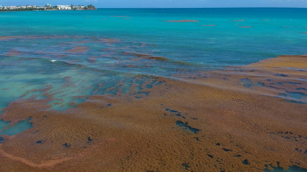 A picture taken on April 23, 2018 shows sargassum seaweed (sargasso) off the coasts of the city of Le Gosier on the French Caribbean Island of Guadeloupe.