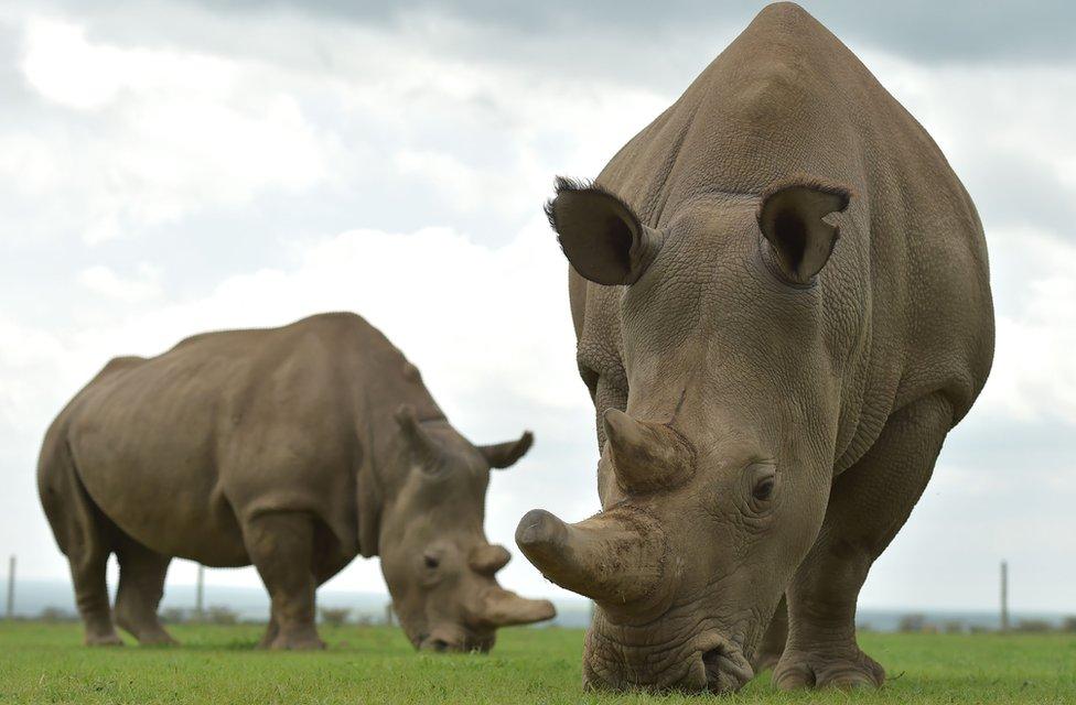 Severni beli nosorog