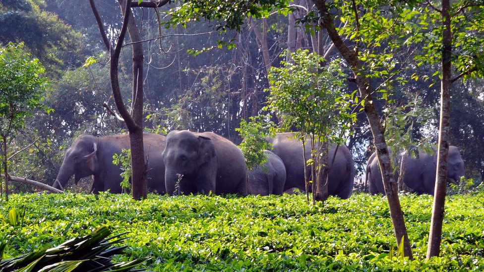 Gajah liar di kebun teh di Assam, India.