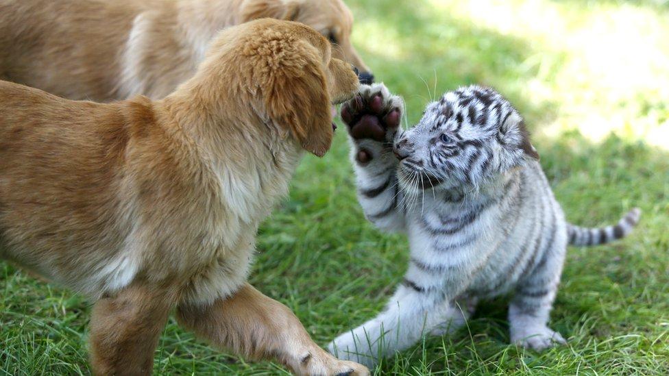 نمر يلعب مع كلب
