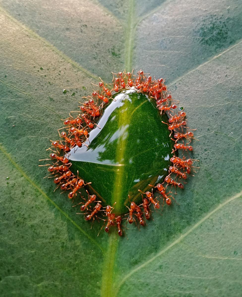 Mala grupa mrava okupila se da uživa u nekoliko kapi sirupa na listu jabuke