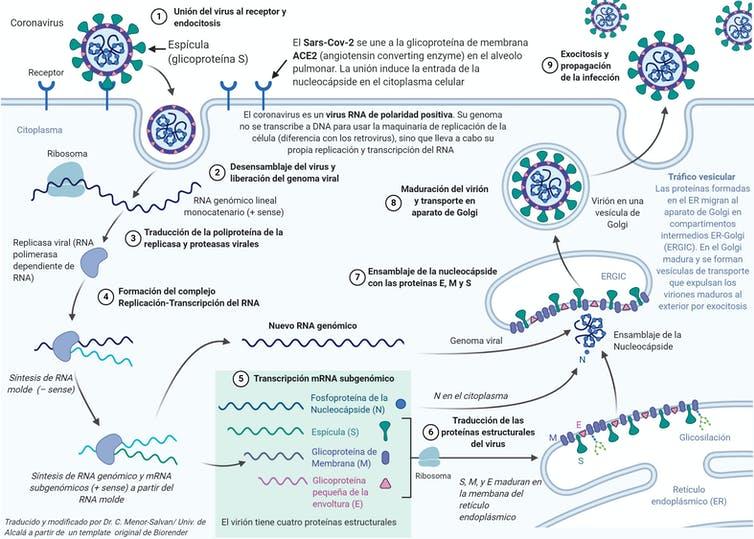 Gráfirco del ciclo de replicación del SARS-CoV-2.