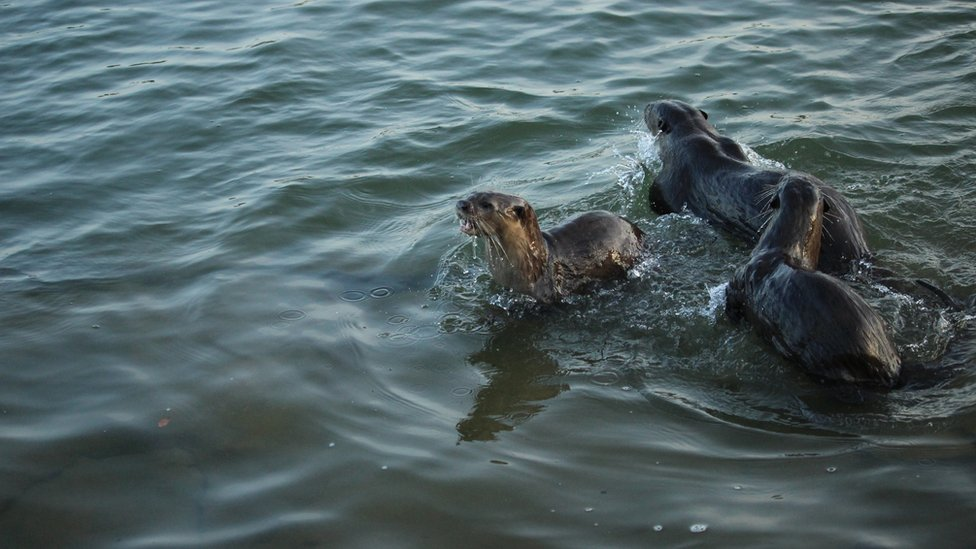 Otters chase each other in the water