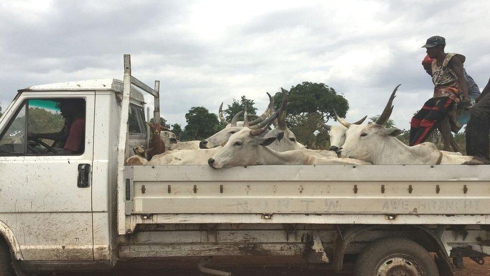 Herders transport cattle to Lafia market