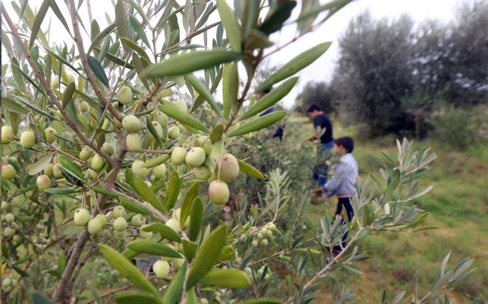 الأراضي المحيطة بترهونة بها العديد من بساتين الزيتون
