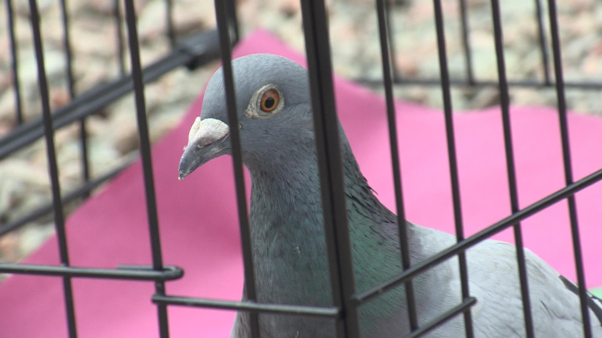 Pigeon streak