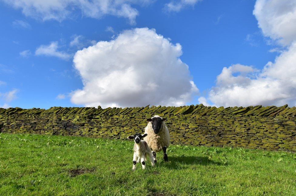 A sheep and lamb looking at the camera