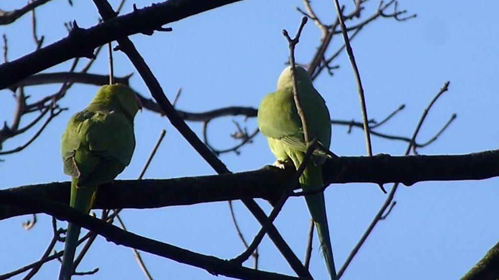 Wild parakeet flock causes a flap in Glasgow park
