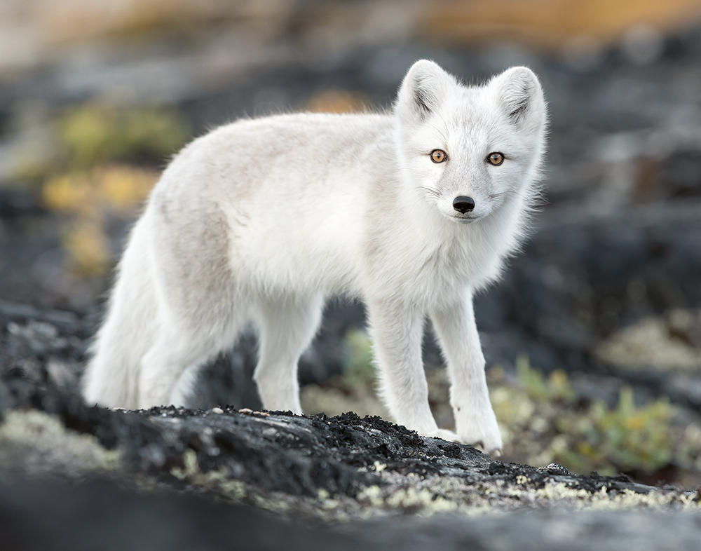 An Arctic fox looking at the camera