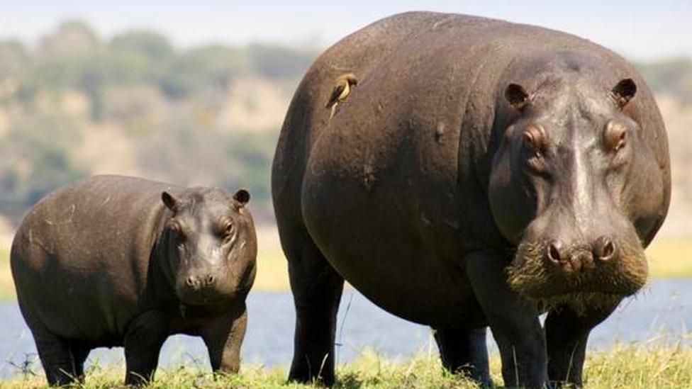 Hippo bite kills Taiwan tourist in Kenya