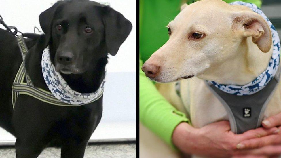 الكلاب تكتشف فيروس كورونا
