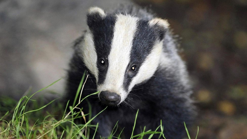 Badger cull extended to 11 new areas of England