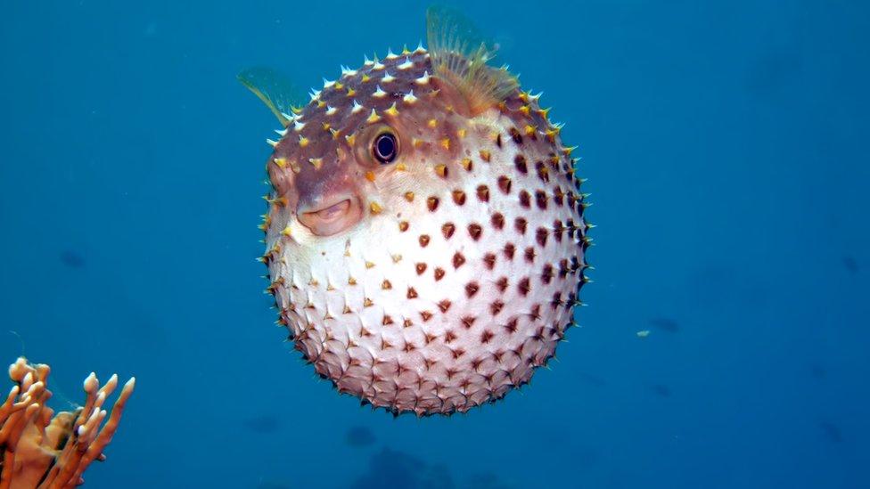 Naduvana riba je prvi put fotografisana u Crvenom moru