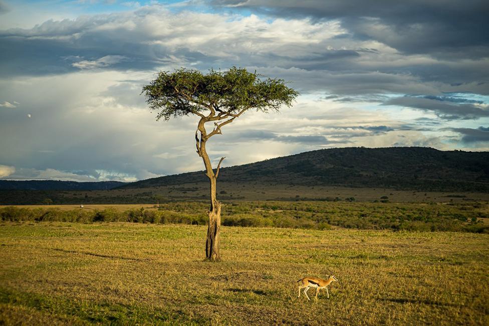 An acacia tree and antelope in Masai Mara.