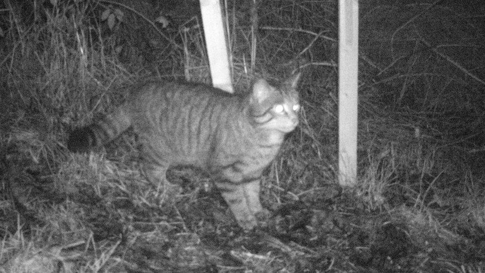 Cat fiadhaich an Inbhir Pheofharain