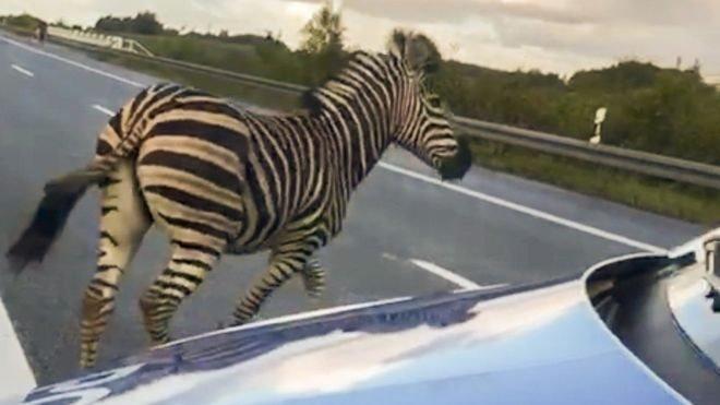 Зебри вискочили на автобан. Що з ними сталось?