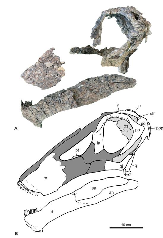 Illustración que muestra los trozos hallados y cómo encajan en un diagrama del cráneo