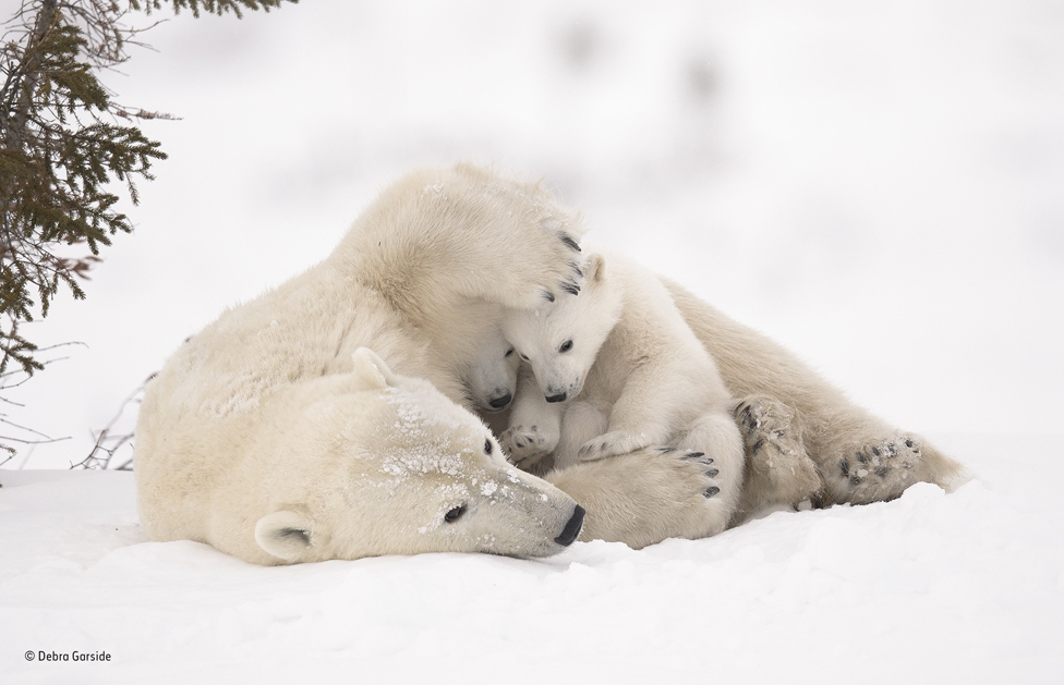 Polar bear family in Wapusk National Park, Manitoba, Canada