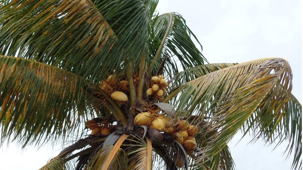 A palm tree affected by lethal yellowing