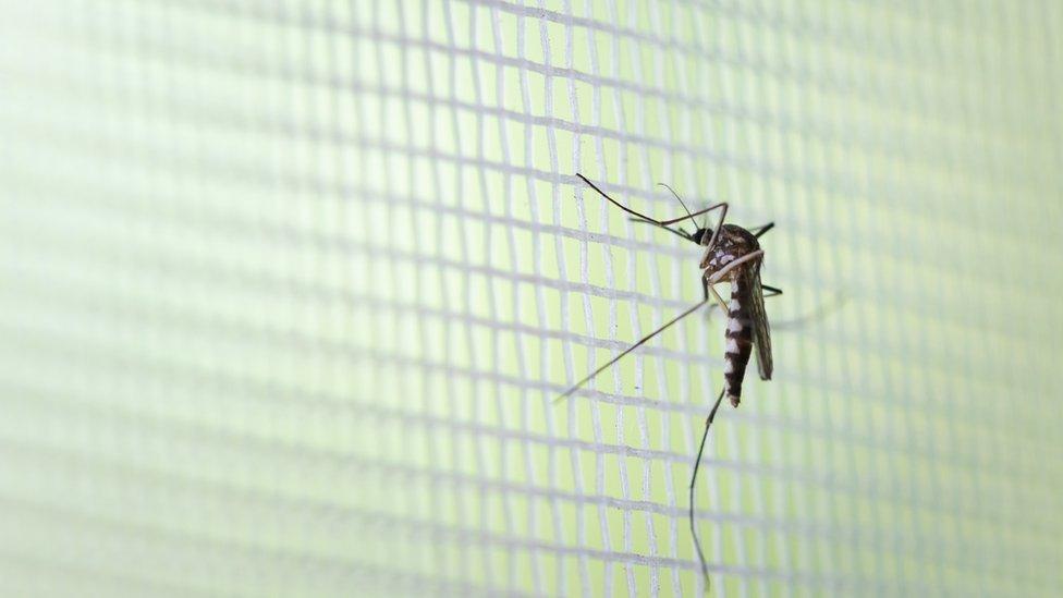 Mosquito em rede