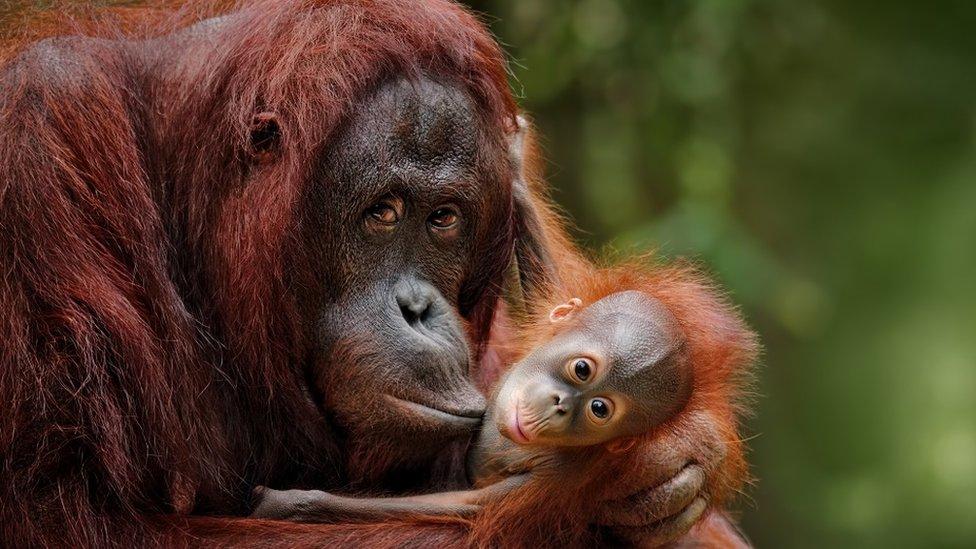 Mama orangutan sa mladuncem