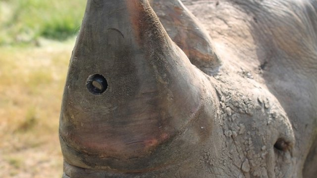Rhino fitted with a camera in its horn