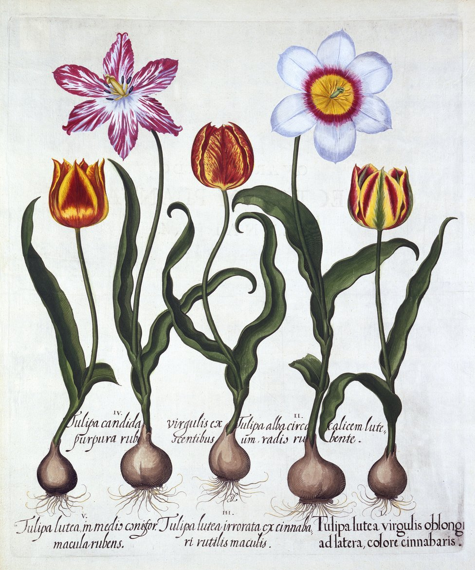 Five Tulips, from 'Hortus Eystettensis', by Basil Besler, published in 1613
