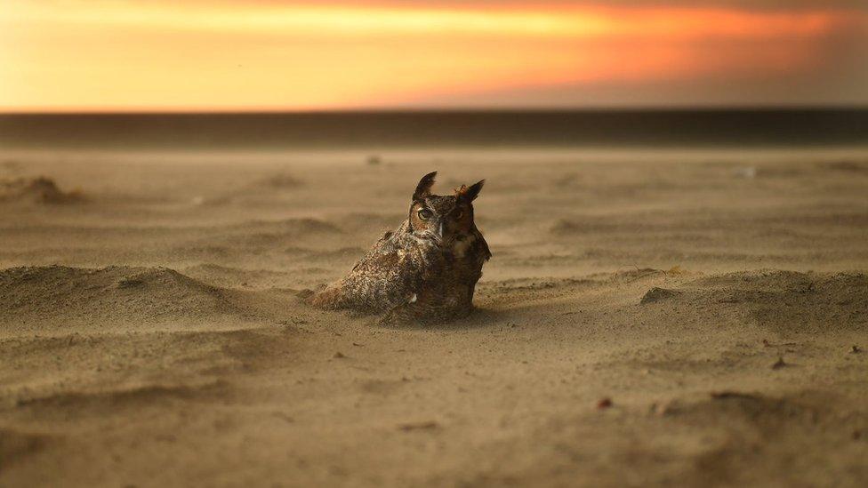 Sova u pesku