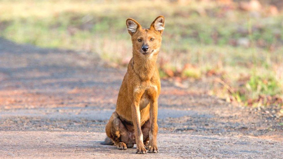 Azijski divlji pas