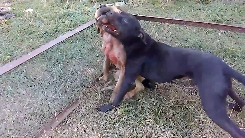 Perros luchando.