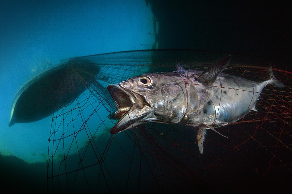 被漁網捕住的金槍魚