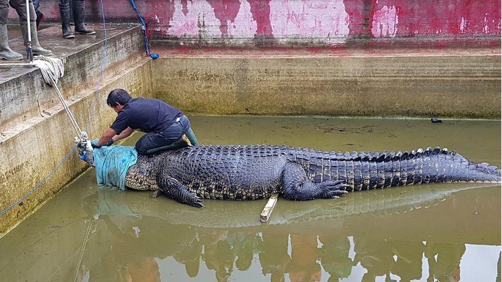 Домашній крокодил вбив жінку в Індонезії