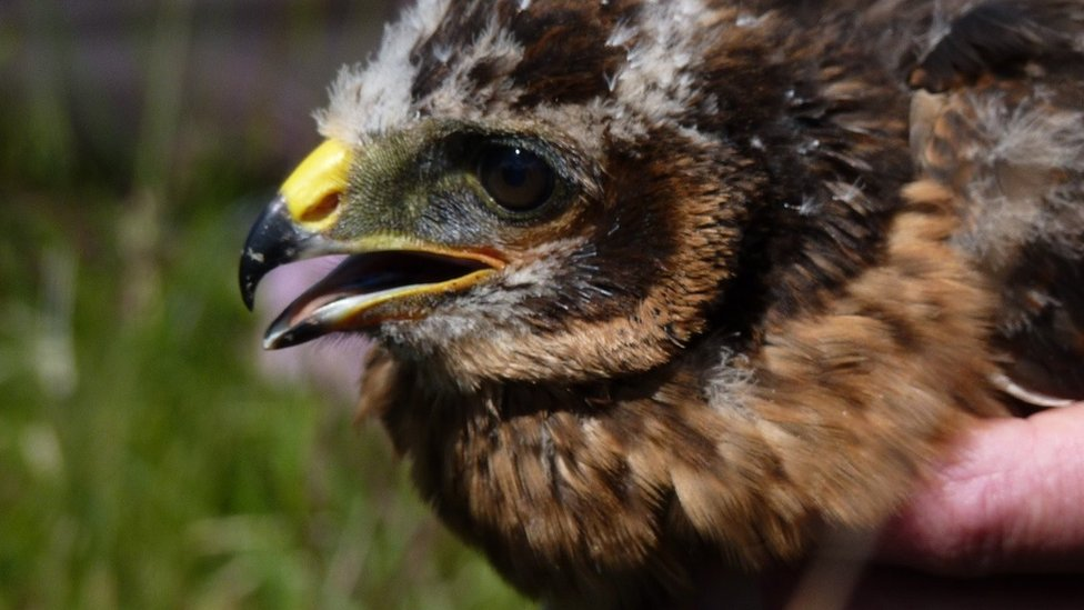 Hen harrier disappearances in Angus Glens and Moffat 'suspicious'