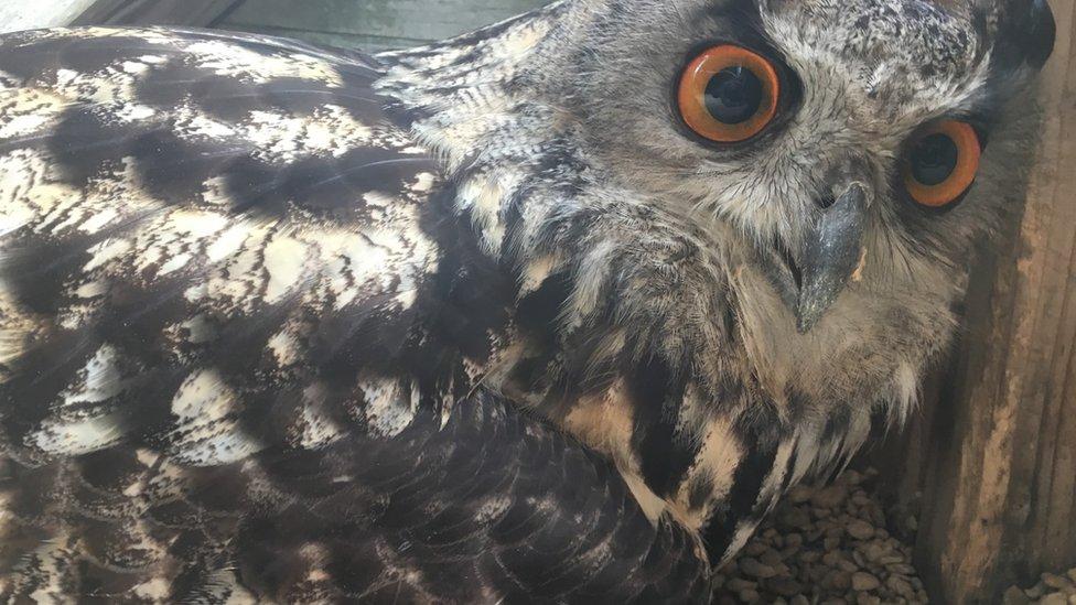 Kaln the eagle owl