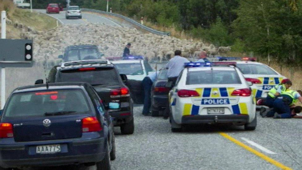Sheep blocking road