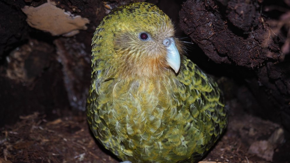 A kakapo parrot is pictured in New Zealand
