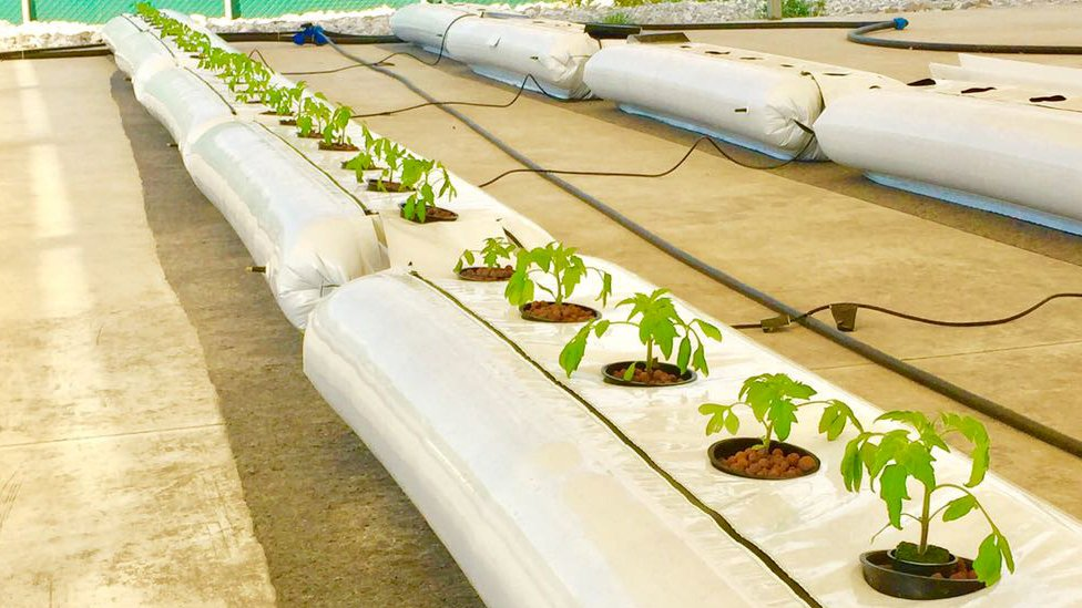 Plants being grown inside plastic filled with water