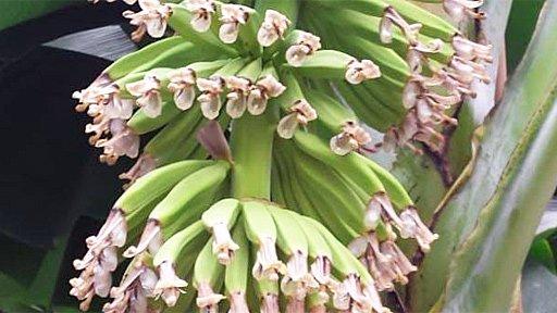 Banano cultivado en la Universidad de Wageningen