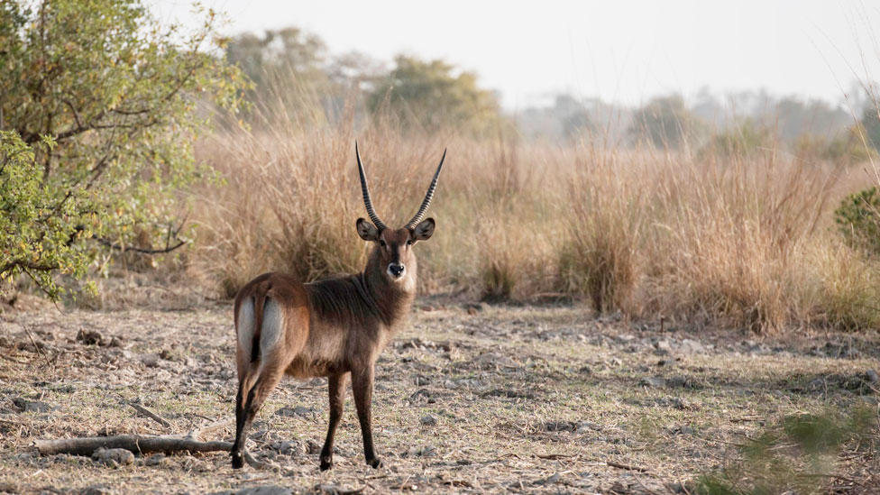 Waterbuck in Benin park