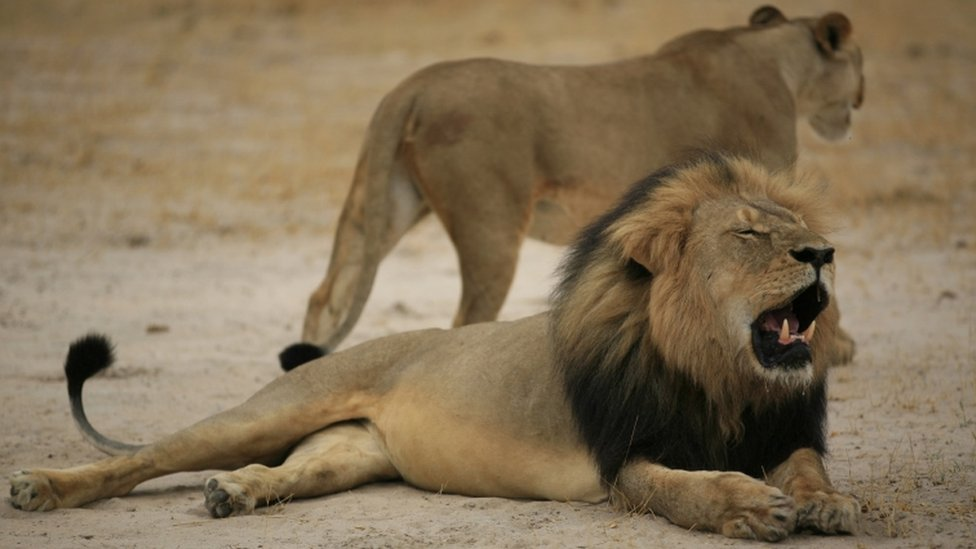 """A much-loved Zimbabwean lion called """"Cecil"""" was allegedly killed by an American tourist on a hunt using a bow and arrow in 2015"""