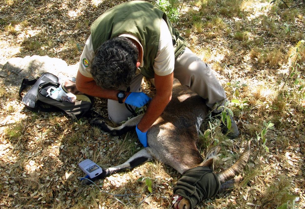 Vet checks pulse rate of a sedated ibex
