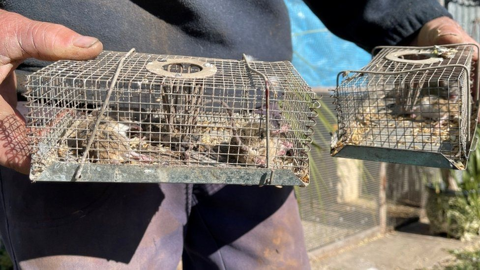 فئران ميتة في مصائد