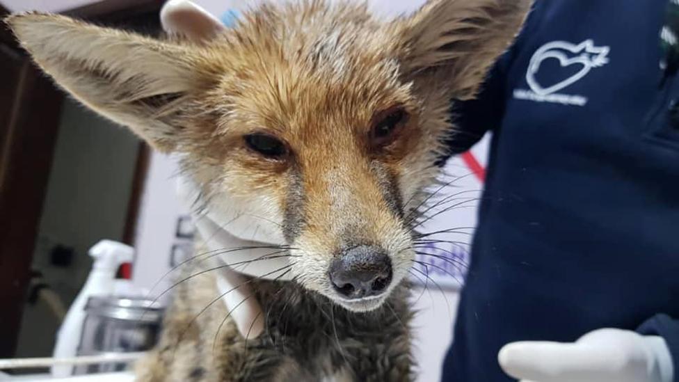 Ranjena lisica koja je završila u utočištu...