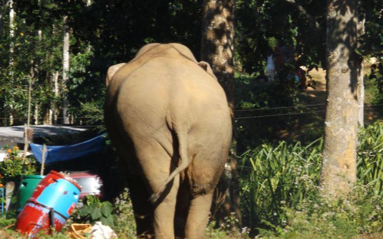 An elephant eating waste food