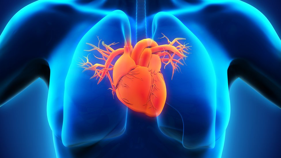 The heart in a female body