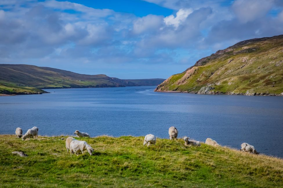 View of sheep on Shetland